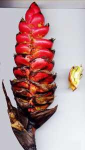 Image of Heliconia imbricata