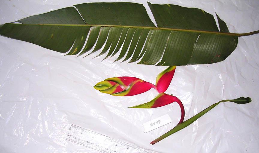 Heliconia image