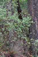 Philadelphus argenteus image