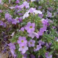Image of Nama hispidum