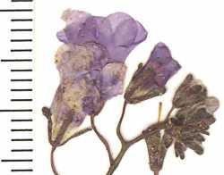 Image of Phacelia glechomifolia