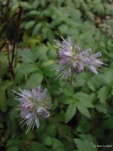 Image of Hydrophyllum occidentale