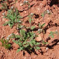 Image of Phacelia affinis