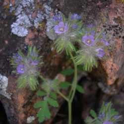 Image of Phacelia cryptantha