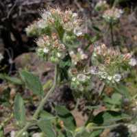 Image of Phacelia heterophylla