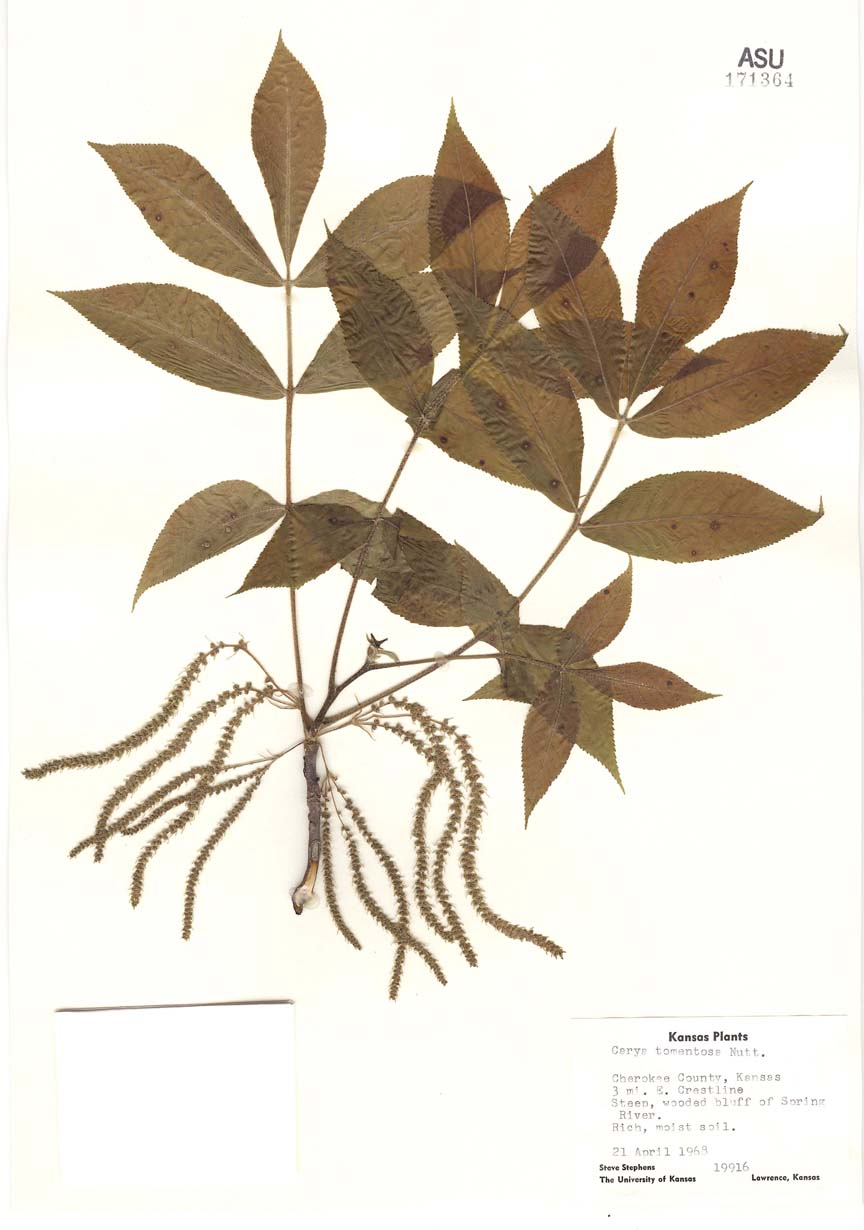 Juglandaceae image
