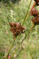 Image of Juncus occidentalis