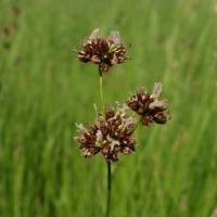 Image of Juncus nevadensis