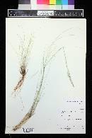 Eriocoma x bloomeri image