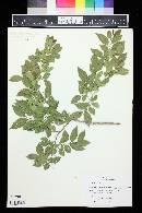 Ulmus pumila image