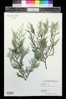 Image of Cupressus x notabilis