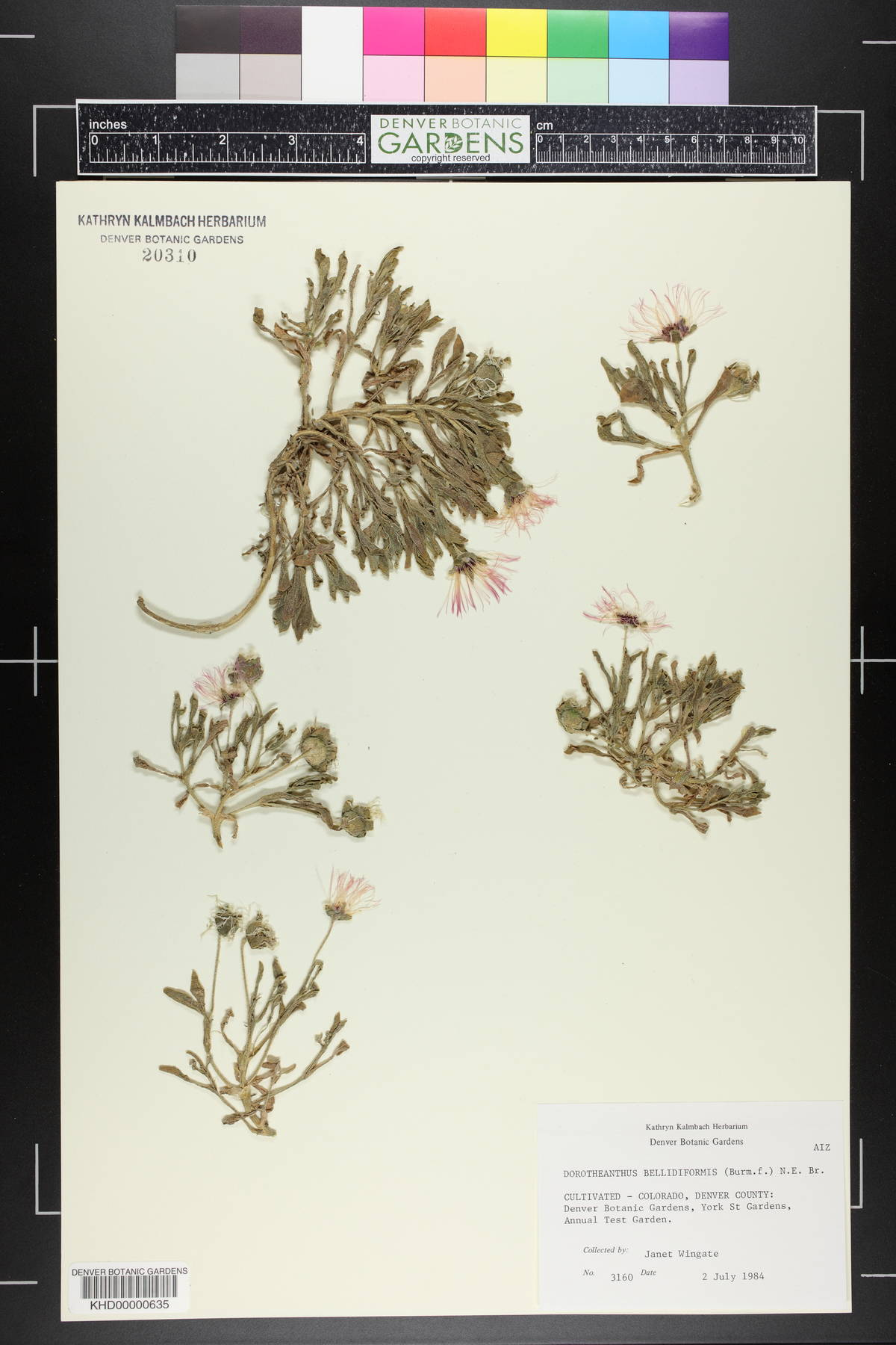 Dorotheanthus image