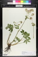 Image of Astrantia maxima