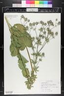 Eryngium planum image