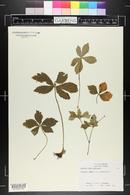 Sanicula trifoliata image