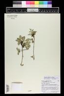 Quercus gambelii var. gambelii image