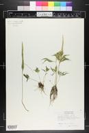 Pinellia pedatisecta image