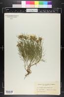 Asclepias pumila image