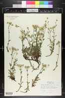 Image of Achillea ageratifolia