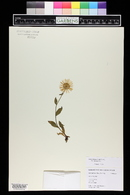 Aster apricus image
