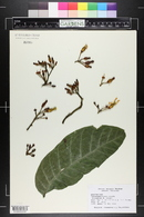 Image of Tabernaemontana crassa