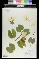 Bauhinia acuminata image