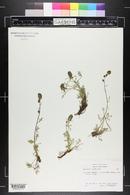 Artemisia laciniata image