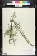 Artemisia alba image