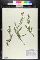 Symphyotrichum foliaceum var. foliaceum image