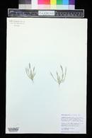 Muhlenbergia brevis image