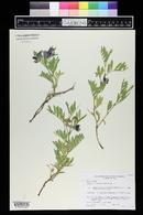 Lathyrus eucosmus image