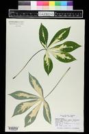 Manihot esculenta image