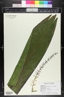 Cordyline fruticosa image