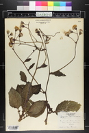 Gynura aurantiaca image