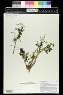 Rorippa alpina image