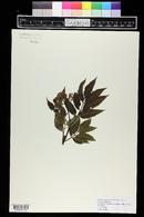 Sambucus racemosa var. melanocarpa image