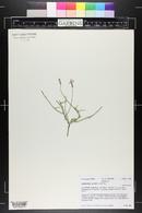 Lygodesmia juncea image