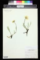 Pyrrocoma clementis image
