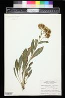 Senecio rapifolius image