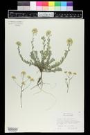 Image of Alyssum petraeum