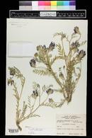 Image of Astragalus dasyanthus