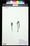 Castilleja parvula image