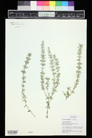 Hedeoma oblongifolia image