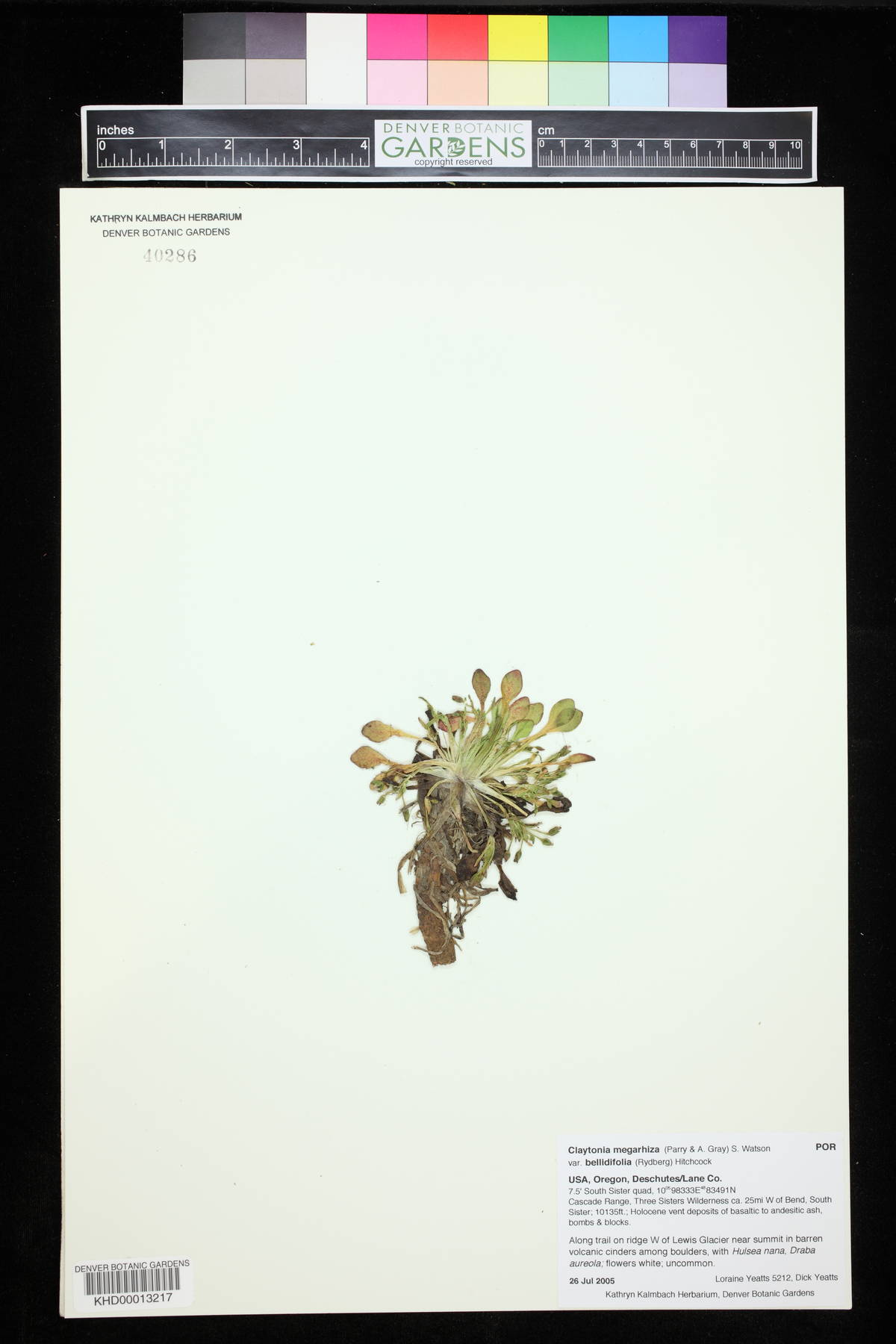 Claytonia megarhiza var. bellidifolia image