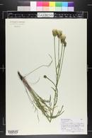 Scorzonera laciniata image