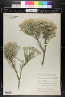 Tetradymia canescens image