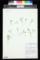 Chorizanthe watsonii image