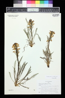 Pedicularis parryi image