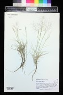 Muhlenbergia pungens image
