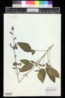 Image of Salvia ringens